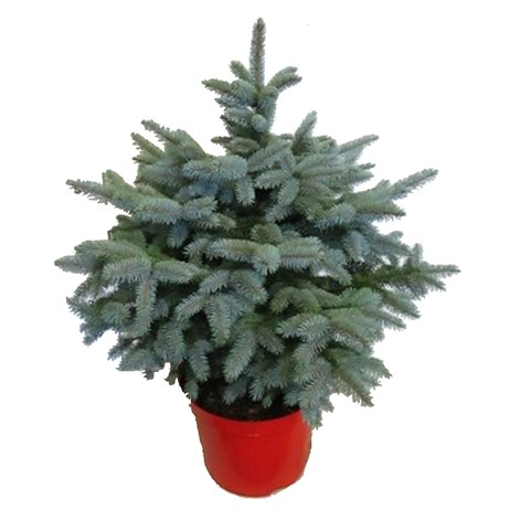 Picea Super Blue 1.5-2ft (60-80cm) Real Pot Grown Christmas Tree