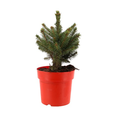 Picea Super Blue 1ft (25-30cm) Real Pot Grown Christmas Tree