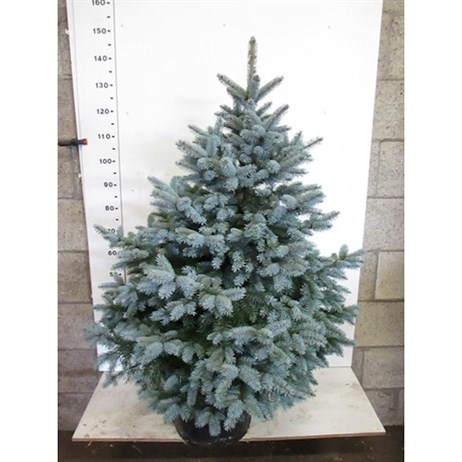 Picea Super Blue 3.5-4.5ft (120-140cm) Real Pot Grown Christmas Tree