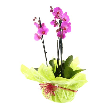 Wrapped Orchid Pink (Phalaenopsis) Double Stem Houseplant In Black Plastic Boat Gift - 60 to 70cm