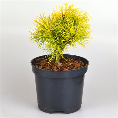 Pinus Mugo Winter Sun - 3lt (Dwarf Conifer)