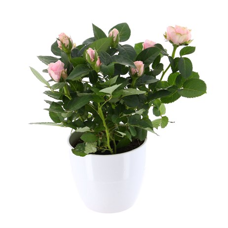 Rose Houseplant Pink (Light) 17cm Pot in a White Ceramic Pot