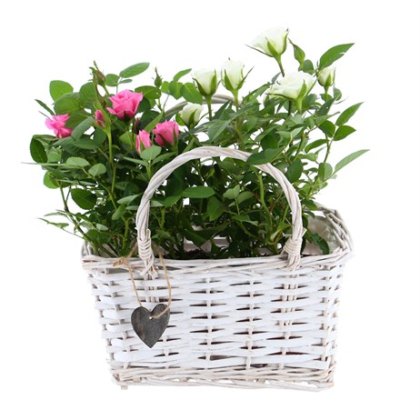 Rose Houseplant Set in White Wicker Handle Basket - Pink/White