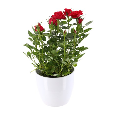 Rose Houseplant Red 13cm Pot in a White Ceramic