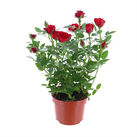 Rose Houseplant Red 17cm Pot
