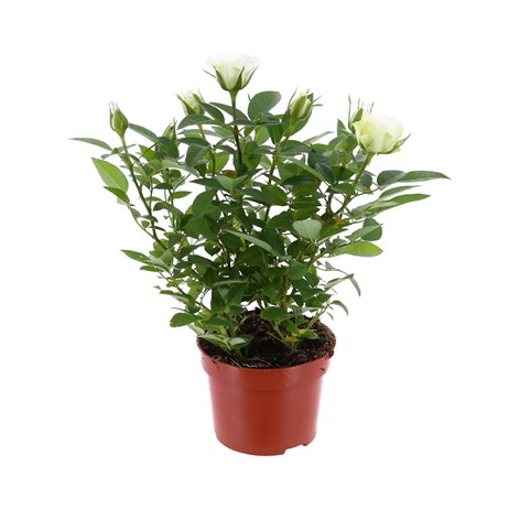Rose Houseplant White 17cm Pot