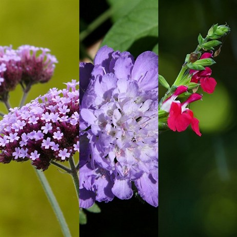 Salvia 'Hot lips', Verbena 'Lollipop' & Scabiosa 'Butterfly Blue' Perennial 2lt Pots - Set of 3
