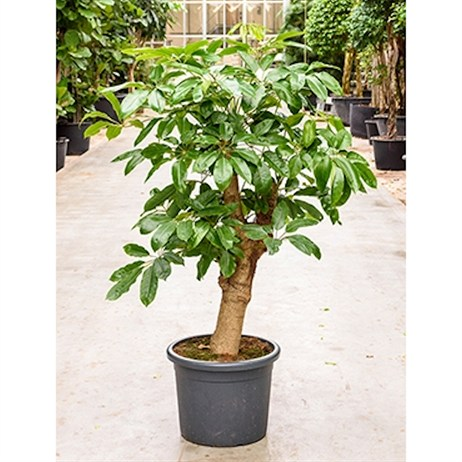 Schefflera Actinophylla Amate - Branched In A 45cm x 160cm Pot