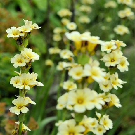 Sisyrinchium Striatum Perennial Plant in a 9cm Pot