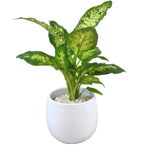 Small Dieffenbachia In White Ceramic Pot
