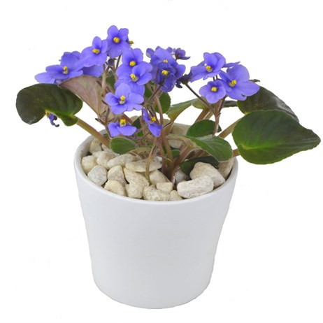 St Paulia (African Violet) Lilac In White Ceramic Pot
