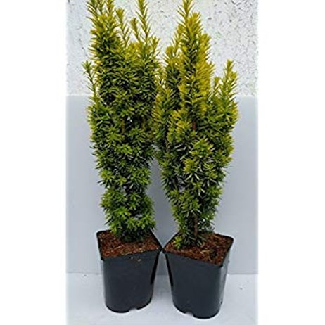 Taxus Baccata David - Yew - 3L Pots - Set of 2
