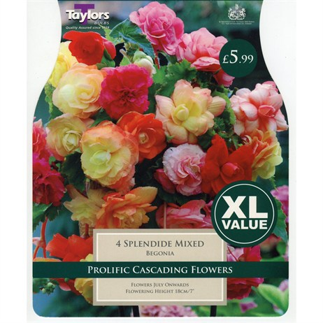 Taylors Bulbs Begonia Splendide Mixed (4 Pack) (XL524)