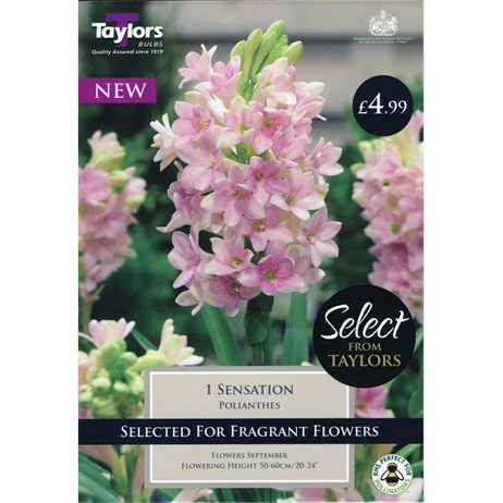 Taylors Bulbs Polianthes Sensation (Single Pack) (SSE158)
