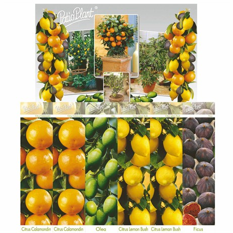 Taylors Plants - Citrus Mitus (Orange) Panama Orange (CP51)
