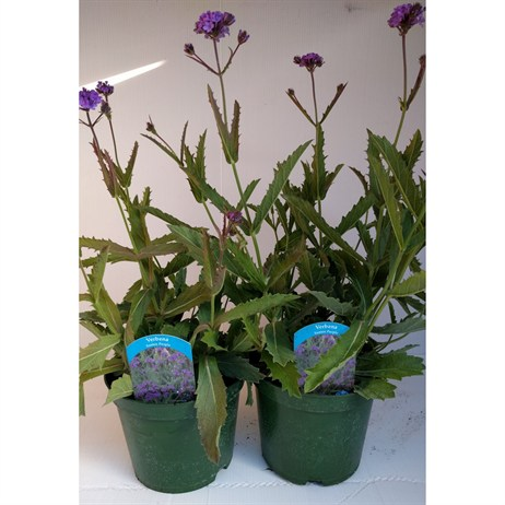 Verbena 'Santos Purple' 2lt Perennial Pot - Set of 2