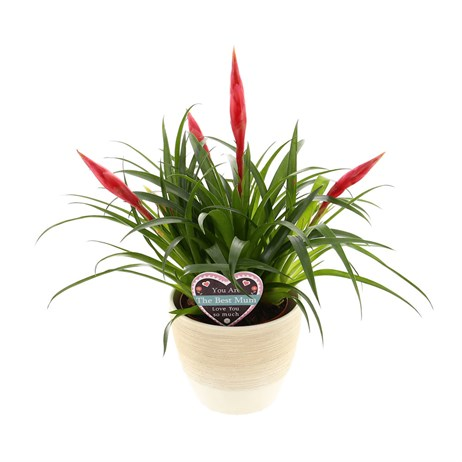 Vriesea 'Astrid' Bromeliad House Plant in a Textured Cream 14cm Pot with Mothers Day Pic