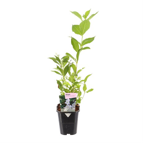 Weigela Bristol Snowflake 11cm Pot Shrub