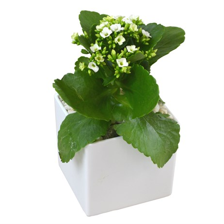 White Kalanchoe Set Into A White Square Ceramic Pot