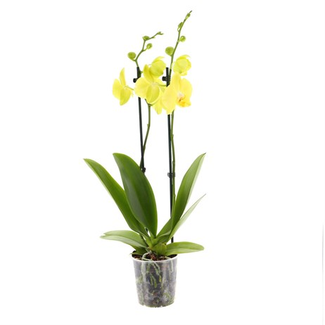 Orchid Yellow (Phalaenopsis) Double Stem Houseplant 12cm Pot