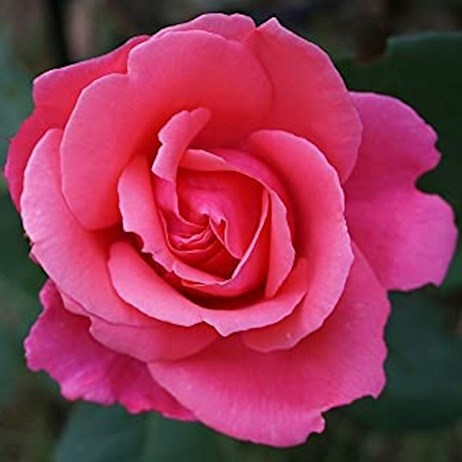 You're Beautiful Bush Rose 3L Pot (3YOBE)
