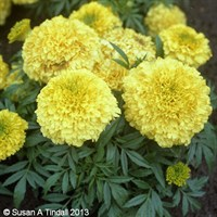 Marigold Antigua Primrose 6 Pack Boxed Bedding