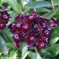 Sweet William Dwarf Mixed 12 Pack Boxed Bedding