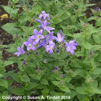 Campanula Lac Prichards Variety Perennial Plant in a 2L Pot