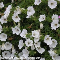 Petunia Grandiflora White 6 Pack Boxed Bedding