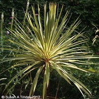 Cordyline Torbay Dazzler Shrub in a 3L Pot