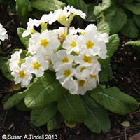 Polyanthus F1 Crescendo White 6 Pack Boxed Bedding