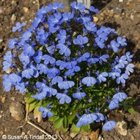 Lobelia Cambridge Blue (Bush) 12 Pack Boxed Bedding