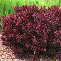 Berberis thunb. Bagatelle Shrub 3L Pot