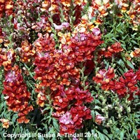 Antirrhinum F1 Coronette Scarlet 12 Pack Boxed Bedding