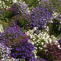 Lobelia String Of Pearls (Bush) 12 Pack Boxed Bedding