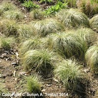 Carex Frosted Curls Perennial Plant in a 9cm Pot