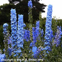 Delphinium Perennial 9cm Mixed Colour Set (6 x 9cm Pot)