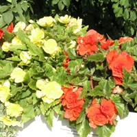 Begonia F1 Nonstop Tuberous 6 Pack Boxed Bedding