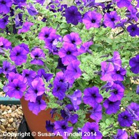 Petunia Grandiflora Blue 6 Pack Boxed Bedding