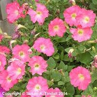 Petunia Grandiflora Pink 6 Pack Boxed Bedding