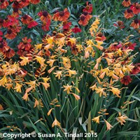 Crocosmia George Davidson Perennial in a 2L Pot