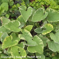 Brunnera Hadspen Cream Perennial Plant in a 2L Pot
