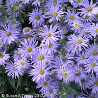 Aster Frikartii Monch Perennial Plant in a 2L Pot