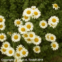 Anthemis Tin Sauce Hollandaise Perennial Plant in a 9cm Pot