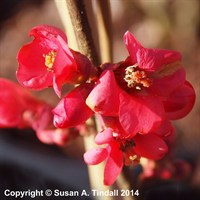 Chaenomeles Eximia Shrub 4L Deep Pot