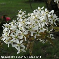 Amelanchier lamarckii Shrub 3L Pot