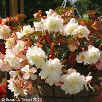 Begonia Trailing (Illumination) White 6 Pack Boxed Bedding