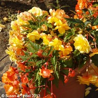 Begonia Trailing (Illumination) Apricot 6 Pack Boxed Bedding