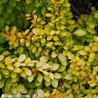 Berberis thunb. Diabolicum Shrub 3L Pot