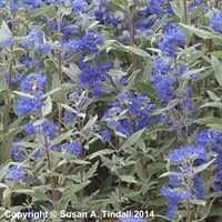 Caryopteris Dark Knight Shrub 3L Pot